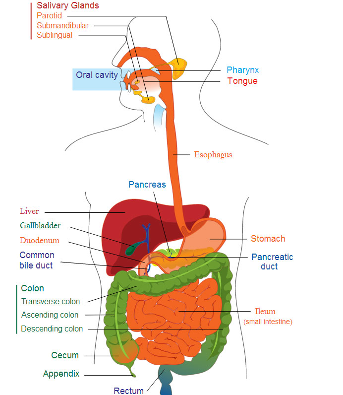 The anatomy of digestion daniella chace ms cn the anatomy of digestion ccuart Image collections